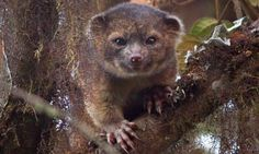 "Olinguito, a new carnivore species, theguardian.com: Described as a cross between a teddy bear and a house cat, this small, wide eyed beast with luxuriant orange fur lives in the cloud forests of Ecuador. (""Olinguito"" rhymes with mojito!) #Animals #Oliguito"