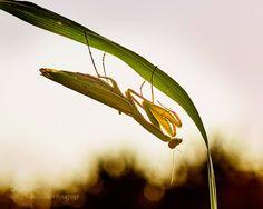 Mantis-religiosa.jpg by alberto26