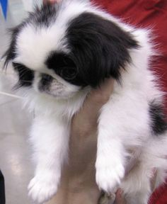 This cute Japanese Chin dog has a haircut similar to a heavy metal band. Animals Beautiful, Cute Animals, Beautiful Things, Dog Lover Gifts, Dog Lovers, Cute Puppies, Dogs And Puppies, Pekingese Dogs, Japanese Chin