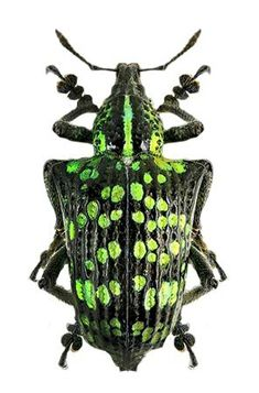 true weevil (small beetle)~~~ Entimus splendidusis a species of broad-nosed ~~`weevils~~ belonging to the family true weevil and the Entiminae subfamily. Beetle Insect, Beetle Bug, Insect Art, Cool Insects, Bugs And Insects, Insect Orders, Mantis Religiosa, Cool Bugs, Cutest Animals