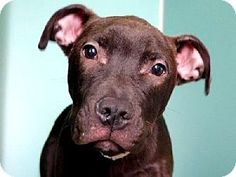 New York, NY - American Pit Bull Terrier Mix. Meet WINTER, a puppy for adoption. http://www.adoptapet.com/pet/12262234-new-york-new-york-american-pit-bull-terrier-mix