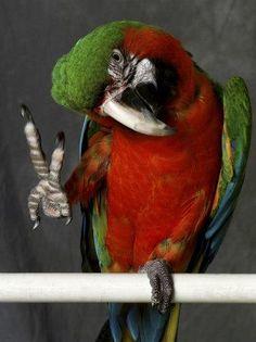 Military Macaw.