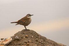 mis fotos de aves: Remolinera andina [Cinclodes albiventris] Cream-wi...