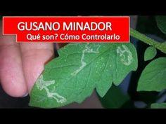 Cómo Aniquilar al Maldito Gusano Minador de las hojas del tomate - Plagas del Tomate - YouTube