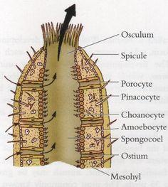 phylum porifera spicules - Google Search