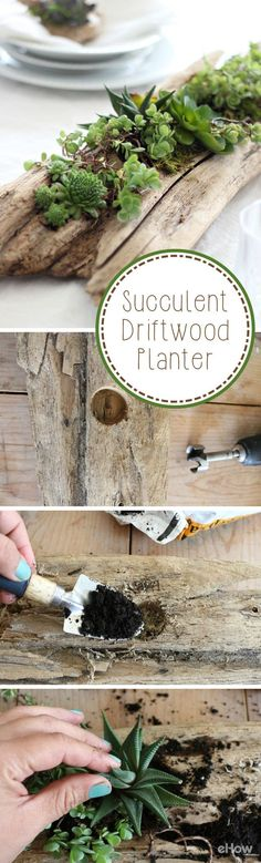 A piece of driftwood is hollowed to make a beautiful succulent planter. It can be displayed indoors on a table or outdoors as part of your…