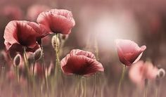 poppy wallpaper for mac, kB) Wall Stickers Wallpaper, Wallpaper Backgrounds, Macbook Wallpaper, Wallpapers, Flowers Nature, Spring Flowers, Dusty Rose, Background Images, Flower Art