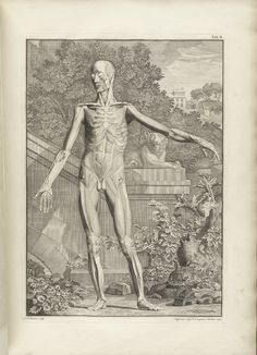 Table 2a of Bernhard Siegfried Albinus' Tabulae sceleti et musculorum corporis humani, 1749, featuring a full length frontal view of a flayed corpse in a landscape with its left arm is extended.