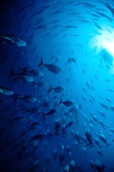 Rush Hour by Nigel Wade on / marine life / underwater Fauna Marina, Himmelblau, Deep Blue Sea, All Nature, Sea World, Underwater Photography, Ocean Life, Marine Life, Under The Sea