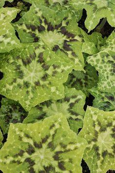 Perennials for sale, buy Podophyllum 'Galaxy'