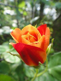 'Joseph's Coat' Rose / climbing floribunda