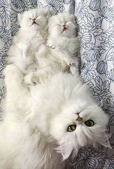 - February 2016 - We Love Cats and Kittens Cute Cats And Kittens, Baby Cats, I Love Cats, Kittens Cutest, Cute Funny Animals, Cute Baby Animals, Animals And Pets, Funny Cats, Pretty Cats