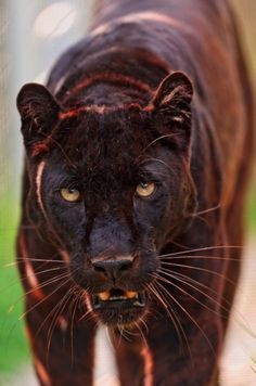 I gotta show Faraday this pic. THIS is a panther! He's just a wannabe runt (tho more cuddly ;-)