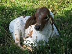 Sweet face of a Brahman calf resting in the meadow