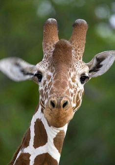 Giraffe For Desktop Picture - Image Detail Giraffe Pictures, Animal Pictures, Cute Pictures, Animals And Pets, Baby Animals, Cute Animals, Animal Babies, Wild Animals, Beautiful Creatures