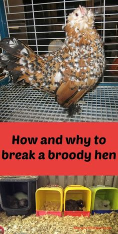 How and why to break a broody hen