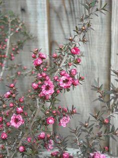 Leptospermum scoparium New Zealand Tea Tree.