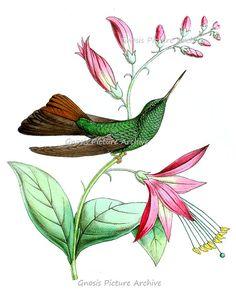 Vintage Hummingbird Art Print No.3 green bird on pink flower botanical print Bedroom Decor Spring Summer 8x10 GnosisPictureArchive