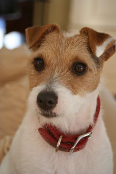 Beautiful Ruby.  Jack Russell Terrier.