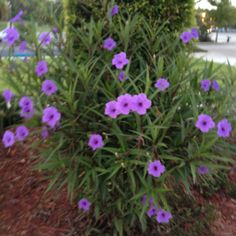 Mexican Petunias - Hot weather plant. Blooms all summer and returns year after year! Great for hot Texas summers.