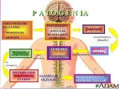 fisiopatología de la enfermedad por el virus de la rabia pdf - Buscar con Google
