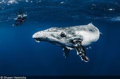 Big Animals – Humpback Whales, Dominican Republic, Tonga