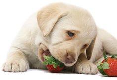 Seu Pet gosta de frutas? Alguns cachorros adoram fruta e fazem de tudo para serem presenteados com essas delícias. Confira as 10 frutas mais indicadas!