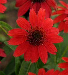 Coneflower [Sombrero Salsa Red]