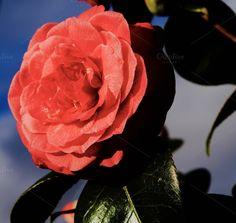 PINK ROSE by naturelover on @creativemarket
