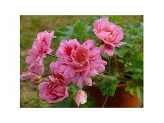 Zonartic Rose