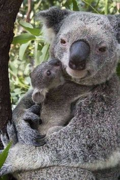 This Koala bear is so beautiful. She is tenderly holding her little one. She reminds me of one of the stuffed animals my youngest daughter had. She cuddled her bear just like this mama is cuddling her baby