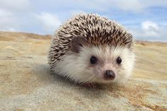 egel | Hedgehog quills are not bared or infused with poison like porcupines ...