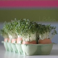 Easter Spring Sprouts & Cress growing in eggshells,  Decorative upcycling at its best. :) #GoodOldDaysEcoflorist