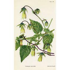 Botanical Print - Ginseng, 1951 #rubylane #VintagePrint