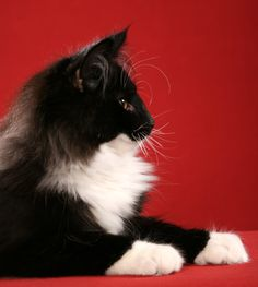 The distinctive profile of a Norwegian Forest cat. They come in many colours (but not Siamese colours) but the profile, large size,ear hair, mane and hair between the toes are all signs of a true Wegie.