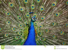 Male Peacock, Peafowl, Colours, Stock Photos, Indian, Blue, Peacock
