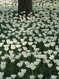 White Tulips, China | by megalemon, via Flickr
