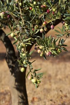 Olive Tree - all the trees I want all tend to need a large acreage in which to thrive - hint, hint ;)