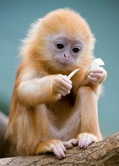Tiny Ginger-Haired Langur Monkey Enjoying a Meal