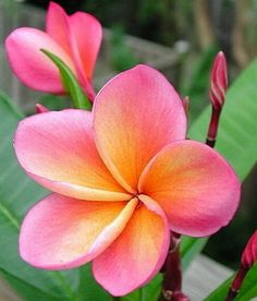 Plumeria - my favorite flower in Hawaii...brings back memories. Great trip with family. I couldn't smell anything for most of my trip...bad cold exacerbated by air travel...about 3 days before coming home I was able to smell again and I will never forget the fragrance of this flower