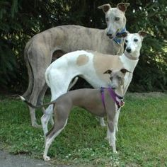 A Greyhound, a Whippet and an Italian Greyhound.