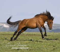 This is called Shaman Leaping. Shaman is leaping for the sheer joy of it  when he is running back to his family band after chasing off a rival stallion. www.LivingImagesCJW.com