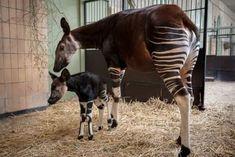 Okapii baby