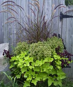 Red ornamental grass, 'Charlie McCarthy' coleus, trailing garnet robe coleus, and lime green sweet potato vine. Charlie McCarthy coleus has little leaves but the plant got HUGE! Another goodie from Rosy Dawn Gardens.