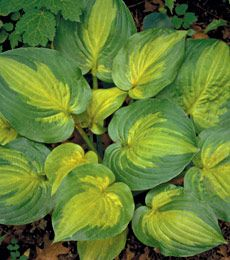 NEW! Hosta Dance with Me