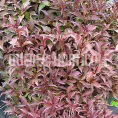 Rainbow Sedum Just plant it, then practically forget it. Our Rainbow Sedum is an excellent ground cover with green and snowy-white foliage with overlays o. Patio Plants, Landscaping Plants, Monet, Ground Cover Plants, Bulb Flowers, Ornamental Grasses, Flowering Trees, Flower Beds, Container Gardening