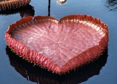 Nature's perfect heart! Giant Amazon water lily at Longwood Gardens in Pennsylvania. 3 feet across!