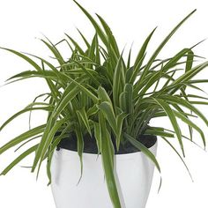 The indigenous Chlorophytum comosum, aka Hen & Chicken / Spider Pant, is a low growing foliage plant with long narrow leaves that reach a length of between centimetres
