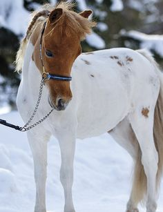 Smallest Horse in the World