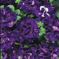 Petunia Double Blue Cascade F1 - Flower Seeds from Mr Fothergills Seeds and Plants